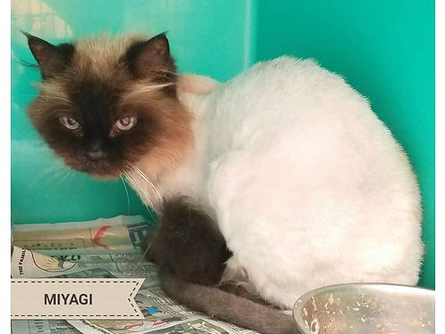 MIYAGI IS A WISE OLD HIMALAYAN kitty with plenty of personality He is looking for a warm spot to re