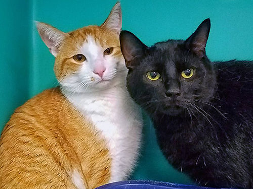LITTLE FACE  SPOT are a bonded pair of male kitties MUST go together They love toys catnip  eac