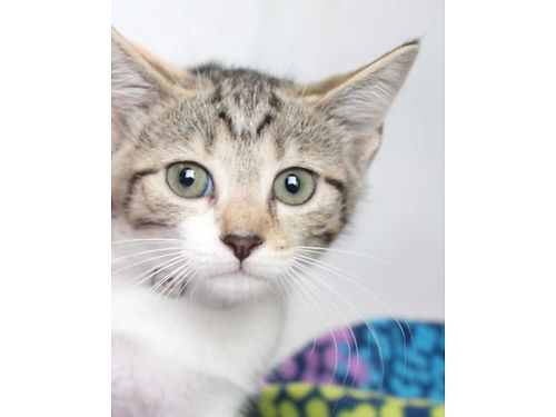 AMYS A RECIOUS 8WK OLD kitten who is ready to learn some tricks  row up in a loving home Shell b