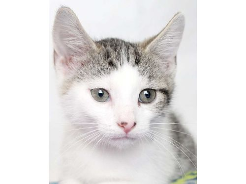 AMORES A TINY LITTLE KITTEN ready for a loving family This little guy will bring so much joy Hel