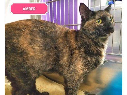 AMBER IS A SWEET 2yr old Tortie cat looking for a great home Adoption fee 110 includes spay vacci