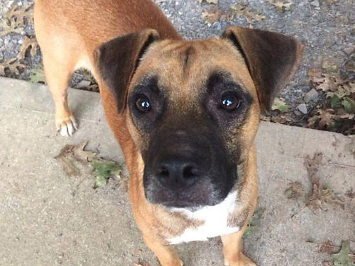 RANGERS A REALLY SWEET small Boxer mix pup This young adult is very friendly  seems to be housetr