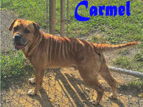 CARMELS A JOHNSON BULLDOGHOUND mix looking to go home  be spoiled in all his wrinkled glory Ado