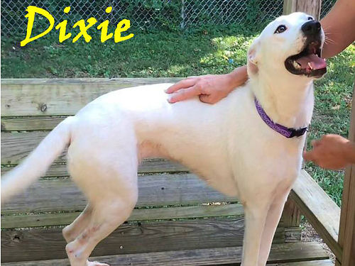 DIXIE IS A FABULOUS adult lab mix that loves people  is very easy to fall in love with Adoption fe