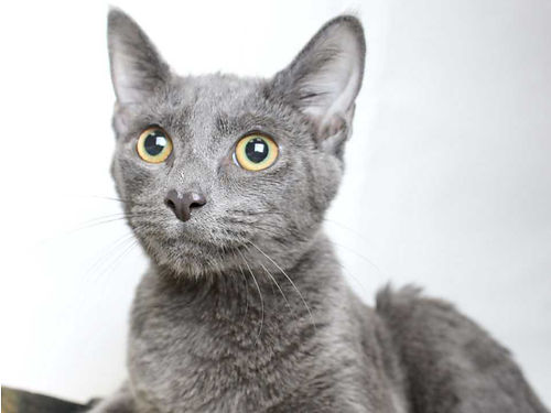 AVALANCHE IS A BRIGHT-EYED loving mellow adult cat ready to go home today For info on Avalanche