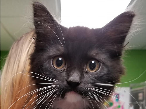 EMMA IS A SWEET fluffy young kitten who loves everything  everyone She is purrfect in every way