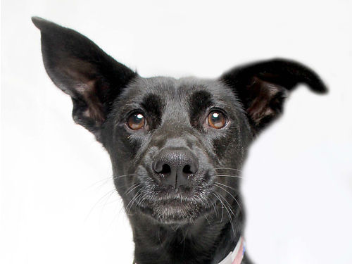 QUINNS A 2YR OLD LABRADOR RETRIEVERSHEPHERD mix looking for her forever home at our main location