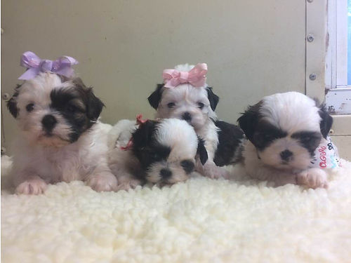 SHIH-TZU PUPPIES CKC registered Will be Small Males  Females adorable pre-spoiled beautiful bab