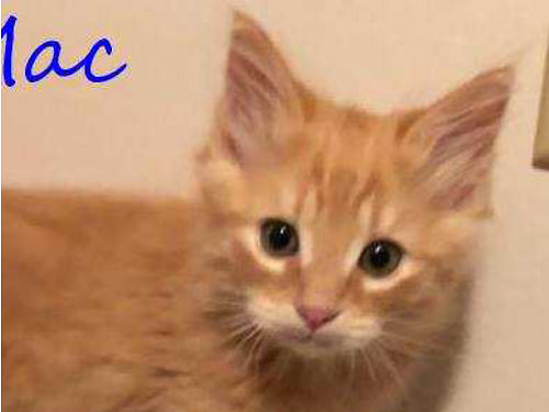 BIG MACS A GORGEOUS MALE ORANGE KITTEN about 10-11 weeks old currently in foster care w2 siblings
