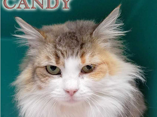 CANDY'S A SWEET & STUNNING YOUNG LONG-HAIRED ...