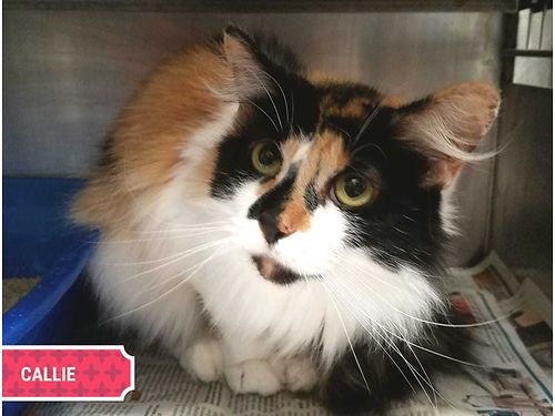 CALLIES A STUNNING 5YR OLD long-haired Calico girl looking for a good home wsomeone to brush her a