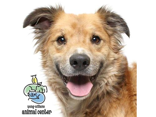 DIESEL is a precious 6-year-old golden mix who is always happy-go-lucky and has a tennis ball In hi