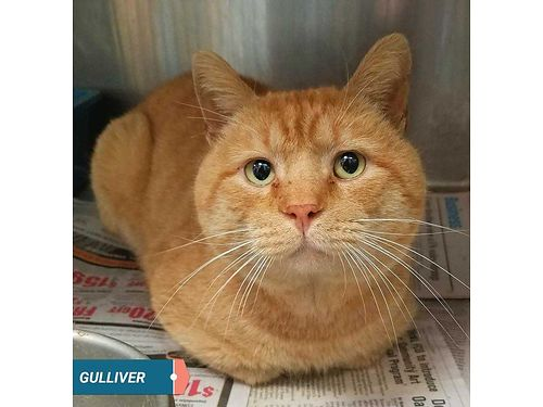 GULLIVER IS AN FIV+ 2YR OLD WITH ...
