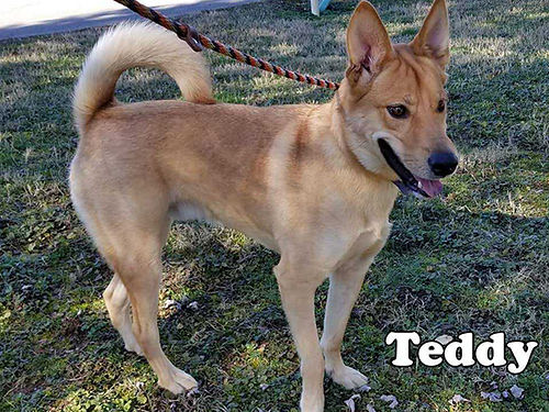 TEDDYS A VERY ACTIVE 2yr old LabHusky mix boy ready for a new home He does well with others and
