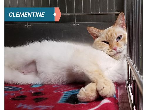 CLEMENTINE IS A COMPLETE LADY This 1yr old flame point siamese loves to be snuggled and spoiled He