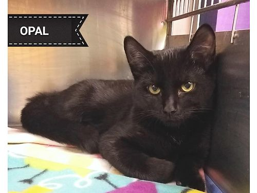OPAL IS A PRETTY 3 month old female She is affectionate and playful She would love to be adopted w