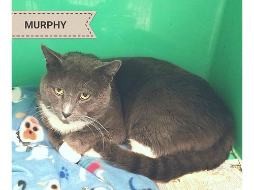 MURPHY IS A WONDERFUL CAT that is vocal and longs to be loved He requires an indoor only home as h