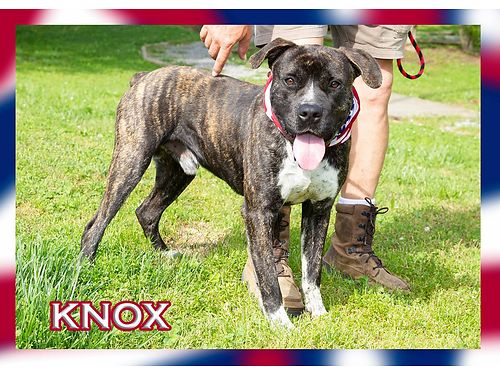 THIS VERY HANDSOME BRINDLE COATED GUY IS KNOX Isnt he handsome He is looking for a new owner Cou