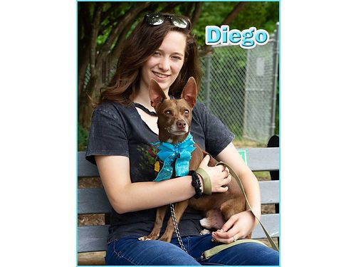 DIEGOS A YOUNG CHI MIX that would love a home without small children Hes in great health but stil