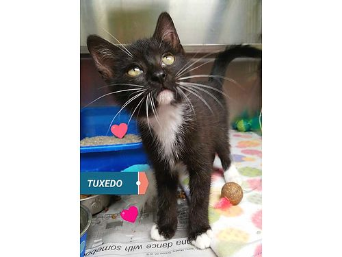 TUXEDOS A PLAYFUL 9 week old kitten boy that would love to go home with a sibling or buddy Adoptio