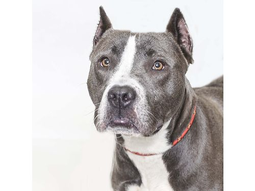 BRIDGETS A 5YR OLD female pit bull terrier mix who absolutely loves people car rides and squirrel