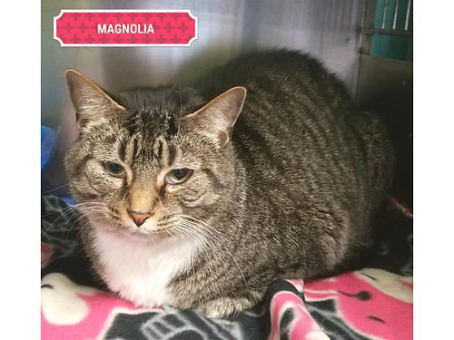 MAGNOLIAS A 4YR OLD tabby girl who lost her home due to a divorce Along with her sister Mila she i