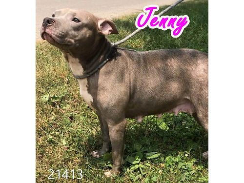 JENNY IS A SMALLER SIZE pit mix who just had pups She is very sweet Adoption fee sponsored at 55