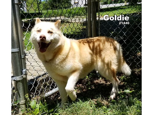 GOLDIE IS A HUSKY MIX GIRL with those beautiful husky eyes Adoption fee 110 includes spay vaccine