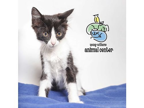 DIJONS A 2MO OLD MALE KITTEN This scrappy little guy started his life on the streets but he wont