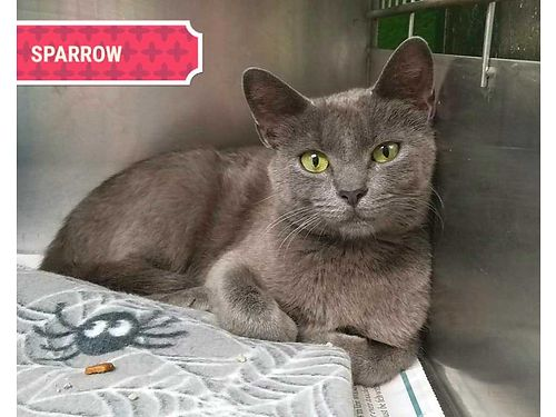 SPARROWS A YOUNG KITTY in search of a quiet home This Russian Blue mix prefers a stable low stres