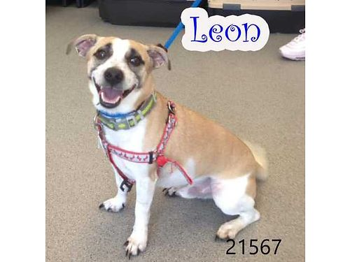LEONS A LITTLE MALE Jack RussellChihuahua mix ready for a new home Hes more like a chunky Chi a