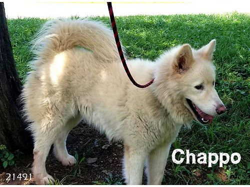 CHAPPO IS A HOUSETRAINED HUSKY MIX that loves to go on long leashed walks Adoption fee 110 include