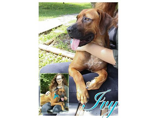 IVY IS A BIG BEAUTIFUL BABY with soulful eyes looking for a large couch and an indoor home Adoption