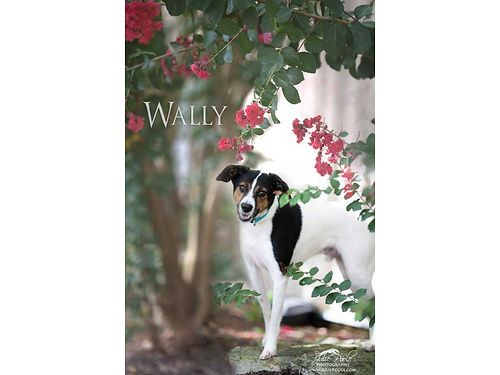 WALLY is a sweet terrier mix looking for a new home He was found running loose and no one came look