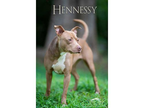 HENNESSY is a beautiful little 3 year old female pit mix whose owner just couldnt afford to keep he