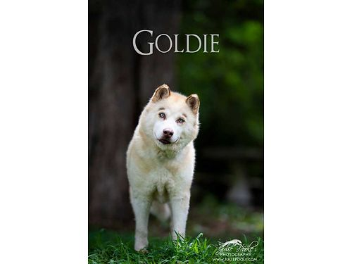 GOLDIE is a stunning husky mix that needs a good stable home She is a little nervous at the shelter
