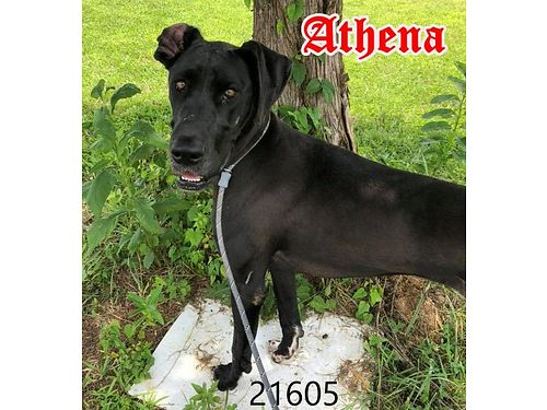 ATHENA IS AN ELEGANT young Great Dane whom we think has goddess qualities She is simply gorgeous an