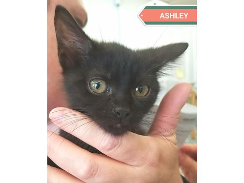 ASHLEY IS A VERY YOUNG KITTEN who came in with her brother Rhett They would like to be adopted toge