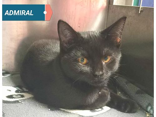 ADMIRALS A SWEET LITTLE KITTEN looking for a great indoor home Adoption fee 110 includes neuter