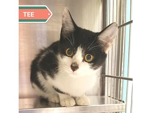 TEE IS A YOUNG 4 month old sweet kitten looking for a loving forever family Adoption fee 110 incl