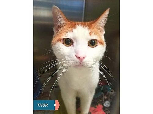 THOR IS A BIG 3 year old teddy bear of a cat He love everyone including children Adoption fee 110