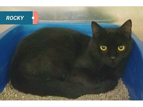 ROCKYS A SWEET sleek 1 year old looking for a family to love Adoption fee 110 includes neuter v