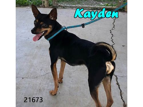 KAYDEN IS A MALE CHITERRIER mix with plenty of spirit and love Adoption fee 110 includes neuter