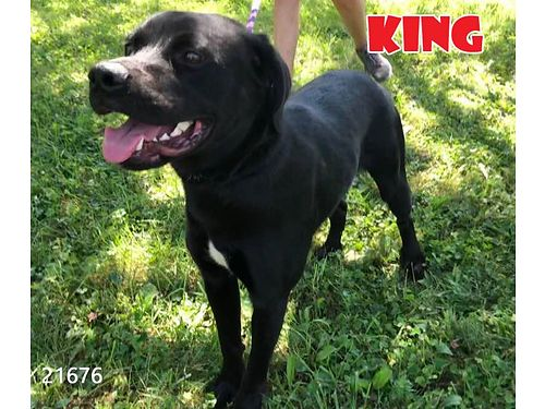 KINGS A 10 MONTH OLD LAB MIX PUPPY that needs an owner wsome patience that is willing to provide t