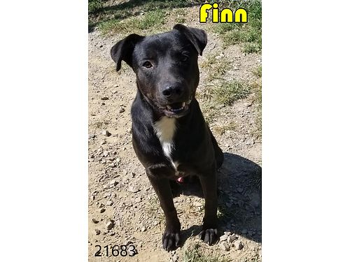 FINN IS A HANDSOME young lab mix with a stellar personality Adoption fee 110 includes neuter vacc