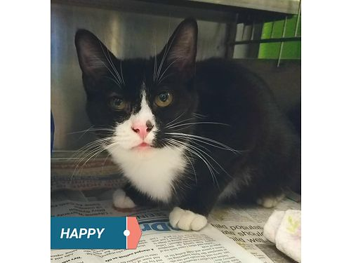 HAPPY IS APTLY NAMED This sweet kitten would love a home to be spoiled in Adoption fee 110 includ