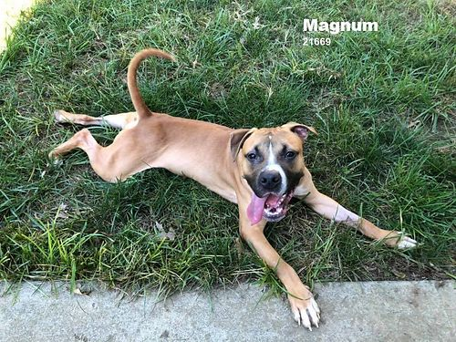 MAGNUM LOVES TO PLAY  wrestle wother dogs good with cats and loves humans even the little ones