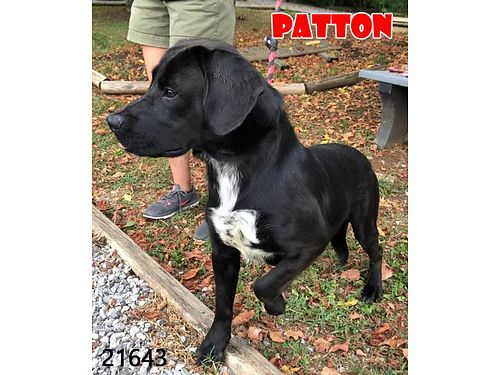PATTONS A HANDSOME LAB MIX that was found running at the Home Depot He would love a more secure l