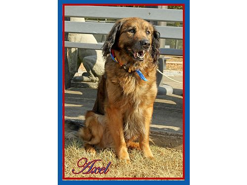 AXELS A CALM 7 year old Retriever mix boy with the sweetest personality Adoption fee 110 includes