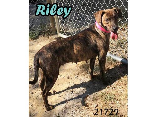 RILEY IS A PRETTY HOUND MIX GIRL She came to shelter with Chester when her previous owners had a ba